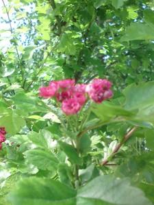 rosehagetorn